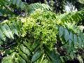 가중나무(개가죽나무)